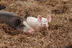 lycklig liten rosa svinbabe arkivbilder