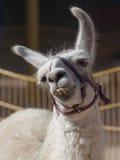 lycklig llama Arkivfoto