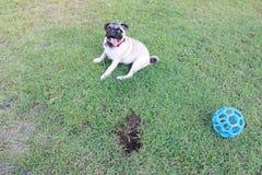 Lycklig mops på gräs Royaltyfri Foto