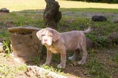 Lycklig Neapolitan mastiffvalp som spelar i gården Royaltyfri Foto