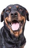 Lycklig nyfiken hund Arkivfoton