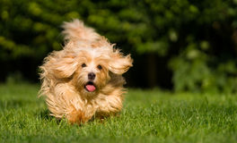 Lycklig orange havanese hundspring in mot kamera i gräset royaltyfria foton