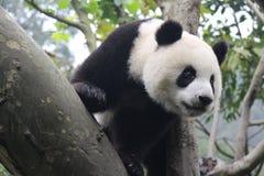 lycklig panda fotografering för bildbyråer