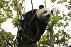 lycklig panda royaltyfria foton