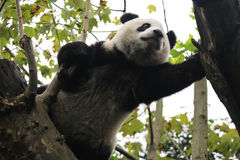 lycklig panda royaltyfri fotografi