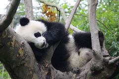 lycklig panda royaltyfri foto