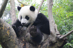 lycklig panda royaltyfri bild