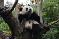lycklig panda arkivbilder