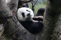 lycklig panda arkivbild