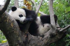 lycklig panda royaltyfria bilder