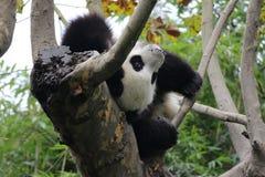 lycklig panda arkivfoto