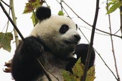 lycklig panda arkivfoton