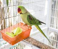 Lycklig papegoja med hans stjärnafrukt royaltyfria foton