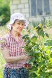 Lycklig pensionerad kvinna med den gröna filialen av den svarta vinbäret Arkivbild