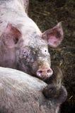 Lycklig Pig Fotografering för Bildbyråer