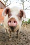 lycklig pigsnout Arkivfoton
