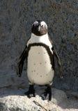 lycklig pingvin Arkivfoto