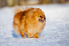 Lycklig pomeranian spitzhundspring på snö Royaltyfria Foton