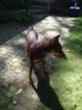 Lycklig Pup Royaltyfria Foton