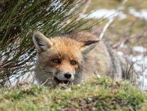 Lycklig röd räv (Vulpesvulpes) som döljas och Royaltyfri Bild