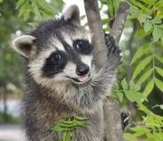 lycklig raccoon Arkivbilder