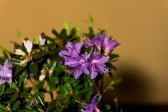 Lycklig rhododendronblomma royaltyfri fotografi