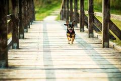 lycklig running för hund Arkivbilder