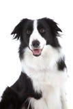 lycklig sheepdog arkivbild