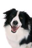 lycklig sheepdog royaltyfri fotografi