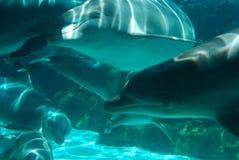 lycklig simning för delfiner Arkivfoto