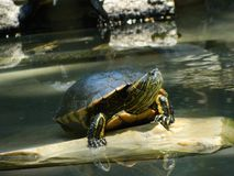 lycklig sköldpadda Royaltyfria Foton