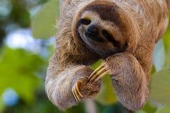 lycklig sloth royaltyfri fotografi