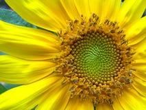 lycklig solros Arkivfoton