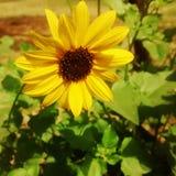 Lycklig solros Fotografering för Bildbyråer
