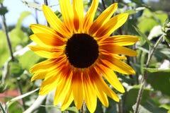 Lycklig solros Royaltyfria Bilder