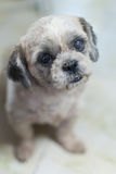 Lycklig stående för shihtzuhund Royaltyfria Bilder