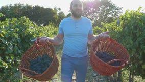 Lycklig stolt vinedresser som går på vingården med två korgar av druvor i händer lager videofilmer