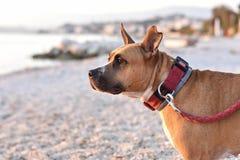 Lycklig sund gropbull terrier hund på stranden Arkivbild