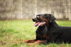 Lycklig svart lögn för dobermanpinscherhundkapplöpning som väntar i ängen royaltyfri bild