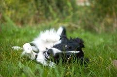 Lycklig svartvit hund som döljas i det gröna gräset i trädgården under sommardag Fotografering för Bildbyråer
