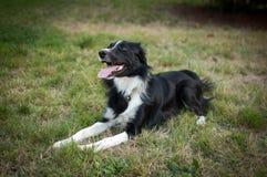 Lycklig svartvit hund som ligger på det gröna gräset i parkera med tungan som ut hänger under sommardag Royaltyfri Fotografi