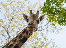 Lycklig vänlig giraff arkivbild