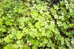 lycklig växt av släkten Trifolium Arkivbilder