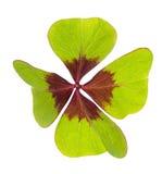 lycklig växt av släkten Trifolium Arkivfoto