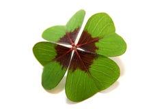 lycklig växt av släkten Trifolium Fotografering för Bildbyråer