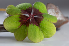 lycklig växt av släkten Trifolium Royaltyfria Bilder
