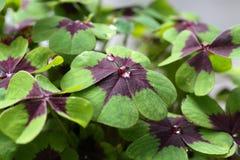 lycklig växt av släkten Trifolium Arkivfoton