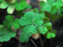 lycklig växt av släkten Trifolium Royaltyfri Bild