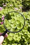 lycklig växt av släkten Trifoliumfind Arkivbilder
