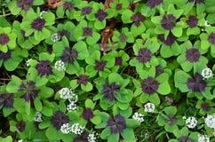 Lycklig växt av släktet Trifolium Arkivfoton